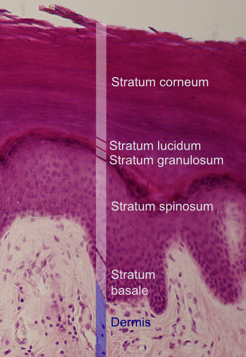 Epidermal Layers